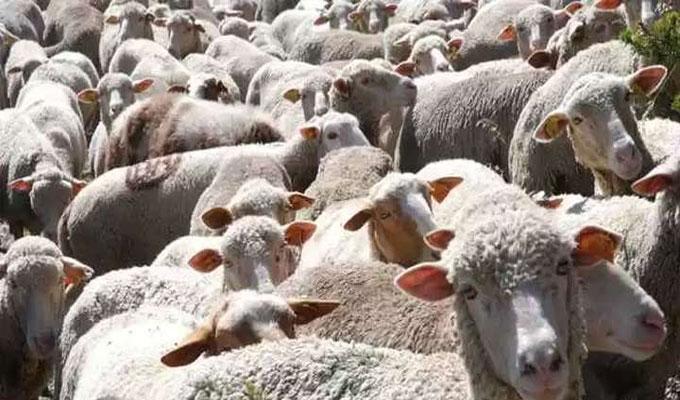 mouton-espagne