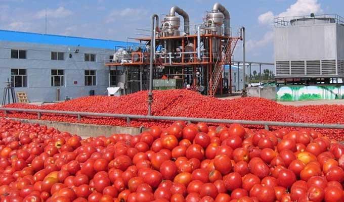 tomate-tunisie-sidi_bouzid