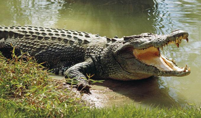 crocodine